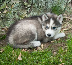 picture of puppy eyes  - Pretty blue eyed Husky puppy laying in the grass at the base of a tree - JPG