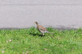 picture of snowbird  - snowbird on the grass beside the road - JPG