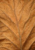 dead tropical leaf close-up