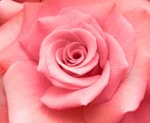 picture of rose flower  - pastel pink rose fills the image - JPG