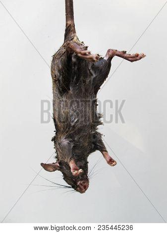 A Dead Rat Or Mouse