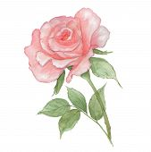 Watercolor Tender Light Pink Rose On White Background. Fresh Flowering Rose. Watercolor Illustration poster