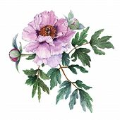 Tender Light Pink Peony With Leaves And Buds On White Background. Fresh Flowering Pink Peony. Tree-l poster