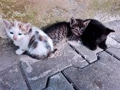 Three Homeless Kittens On Street. Three Little Tabby And Spotted Kittens Lying Outdoor. White Three  poster
