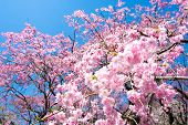 stock photo of weeping  - Pink weeping double cherry blossoms and blue sky in Tokyo Japan - JPG
