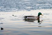 The Drake Swims Along The Edge Of The Ice-covered Pond In The Park In The Spring At Sunset In April. poster