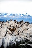 Постер, плакат: Cormorant Colony On An Island At Ushuaia In The Beagle Channel Beagle Strait Tierra Del Fuego Arge