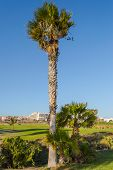 Three Palm Trees Along A Trail In Santa Cruz On The Island Of Tenerife poster