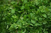 Mint Leaves.mint Leaves.mint Leaves Background.peppermint.leaves Of Mint On Green Background.closeup poster