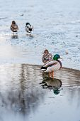Duck Couples On A Melting Ice Pond In The Park In The Spring At Sunset In April. Drake With A Duck. poster