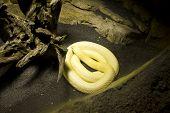 image of king cobra  - Albino Monocle Cobra - JPG