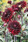 Dark Red Dahlia Flowers In Botany Garden poster