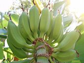 Green Bananas Grow On A Branch. Green Bananas Grow On A Branch. poster