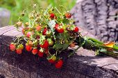 Wild Strawberry Bunch With Leaves On Wood Trunk. Strawberry Plant & Green Leaf In Summer Day. Ripe W poster