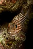 Tiger cardinalfish