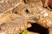 Female leapard tortoise