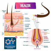 Hair Anatomy Structure Diagram Vector Illustration. Skin Layers Cross Section With Dermal Papilla, F poster