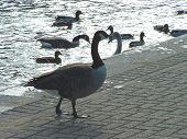 Geese Stratford