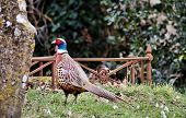 picture of game-cock  - Cock Pheasant on patrolling a churchyard in Kent  - JPG