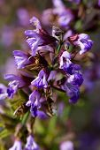 picture of clary  - Salvia officinalis  - JPG