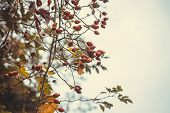 Rose Hip Nature Background. Nature Background Of Wild Rose Hip In Autumn. Rose Hip Nature Background poster
