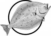 picture of halibut  - Black and white illustration of halibut engraving style - JPG
