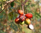 stock photo of biodiesel  - Sterculiaceae fruit on tree - JPG