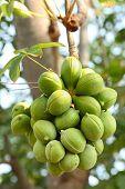 picture of biodiesel  - Sterculiaceae fruit on tree - JPG
