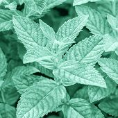 Color Trend 2020 Year Neo Mint. Flat Lay Fresh Mint Leaves Toned In Light Neo Mint Green Color , Clo poster