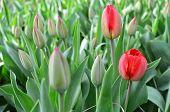 Tulips Bloom.