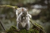 Eastern Gray Squirrel, Known As The Grey Squirrel Is Native Animal  To Eastern North America poster