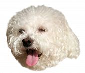 Bichon Frise Dog. Beautiful Pure Breed Bichon Frise dog head. Isolated on white. Room for text. clip poster