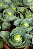 Fully Ripe Homegrown Organic Cabbages In Pots