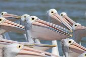 Open Mouthed Pelicans
