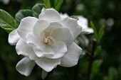 picture of gardenia  - A pretty gardenia bloom in the summertime - JPG