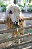 pic of cashmere goat  - White lamb on the farm close up - JPG