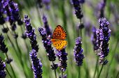 Butterfly On Lavendar