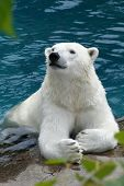 stock photo of polar bears  - Polar bear taken in Quebec on 7 July 2008.