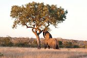 Elephant Push Marula Tree