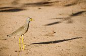 Wattled Plover with Shadow