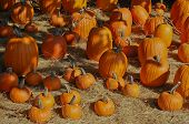 stock photo of eat me  - Pumpkins remind me childhood activities of carving and banking and eating pie - JPG