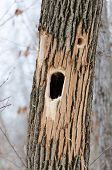 Woodpecker hole in New England tree trunk