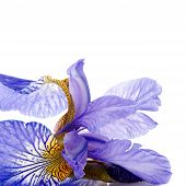 Petals Of A Flower Of An Blue Iris.