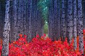 foto of crimea  - Fantastic forest with Cotinus coggygria - JPG