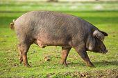 Male Iberian Pig