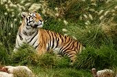 stock photo of tigress  - portrait of a Siberian Tiger laying in a field of tall grass - JPG