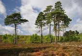 Dry Heathland at Thursley Common NNR