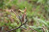 Two Praying Mantis