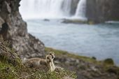 Iceland. A Couple Of Icelandic Eider Ducklings And Godafoss Waterfall.