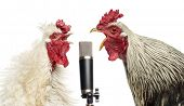 stock photo of poultry  - Two roosters singing at a microphone - JPG